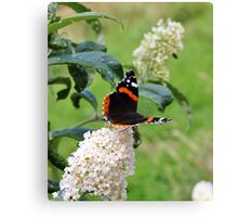 RED ADMIRAL BUTTERFLY ON WHITE BUDDLEIA  Canvas Print