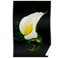 Peace lily in bloom Poster