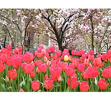 Colorful Spring Tulips, New York City Photographic Print