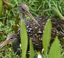 A Limpkin Family by FSULADY