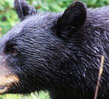 Wet Black Bear Sticker