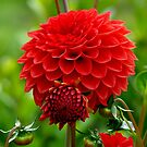 Mother & Child Red Dahlia - Southland - NZ by AndreaEL