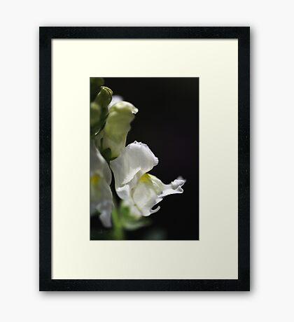 White Snapdragon Flower Framed Print