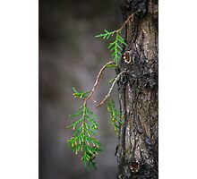 Evergreen Photographic Print