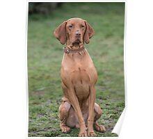 Portrait of a Hungarian Vizla dog Poster