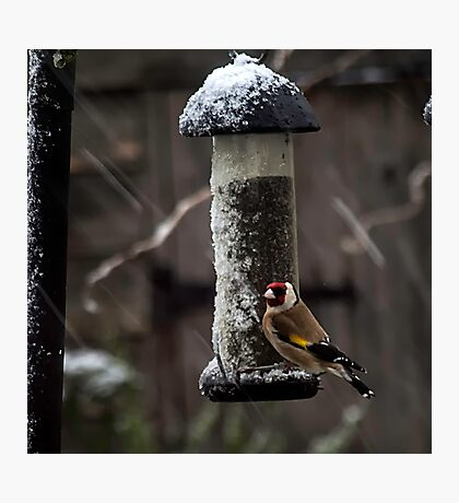 Gold Finch Photographic Print