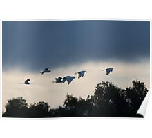 Evening Egrets Poster