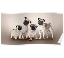 4 Cute Pug Puppies Poster