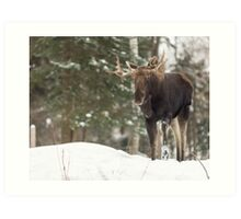 Bull moose in winter Art Print