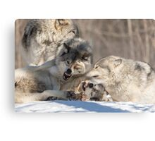 Timber wolves playing in winter Metal Print