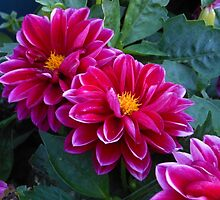 Dahlias Dreaming by kathrynsgallery