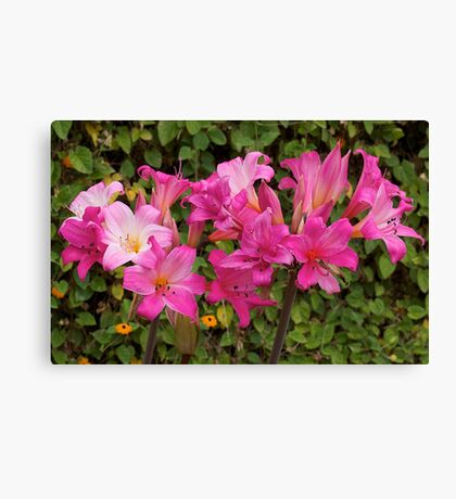 Belladonna (beautiful lady) flowering. Canvas Print