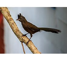 Baby Whipbird at iso 1600 Photographic Print