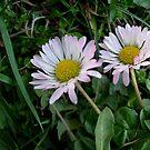 Two daisies by Ana Belaj