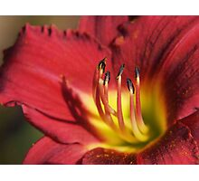 Red Lily Stamens Photographic Print