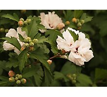 Double Petalled Rose of Sharon  Photographic Print
