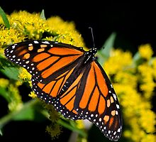 Orange Monarch Butterfly by Christina Rollo