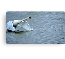 Swan's runway...is a long one Canvas Print