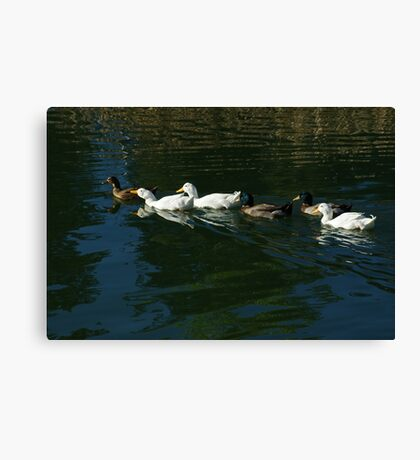 Ducks swimming. Canvas Print