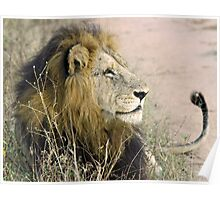 Mapogo male lion(This is my best side!) Poster