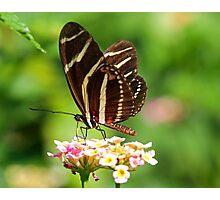 Zebra Longwing in profile Photographic Print