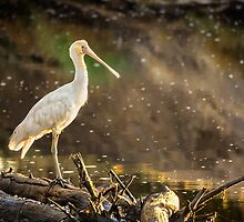 Yellow-billed Spoonbill by Paul Amyes