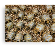 Do tortoises make noises? - Yampoem Canvas Print