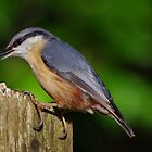 Nuthatch by Deb Vincent