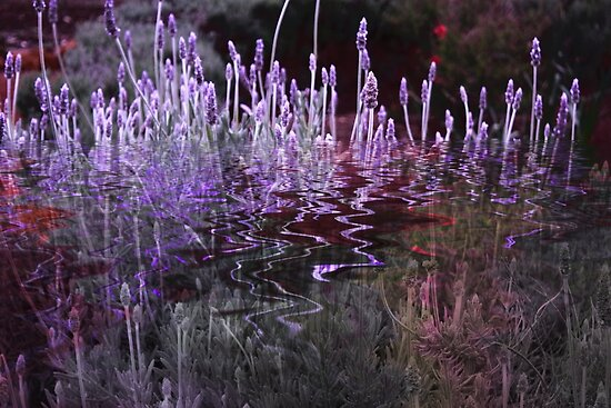 Lavender Reflections by Elaine Teague