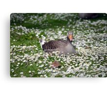 duck among daisies in fota wildlife park near cobh Canvas Print