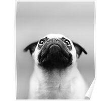 Pondering Pug Poster