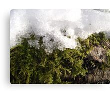 Snow and moss Canvas Print