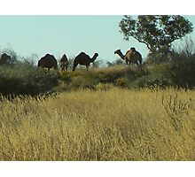 Wild Camels Photographic Print