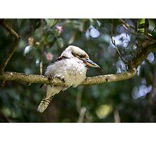 Kookaburra on a branch Photographic Print