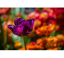 Magenta Tulip 1 Photographic Print