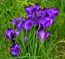 Vibrant Crocus .. Devon UK by lynn carter
