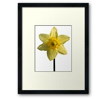 The Daffodil Framed Print
