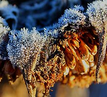 Frosted Sunflower by Karirose