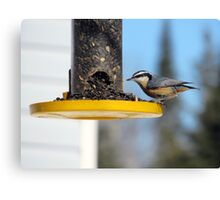 Redbreasted nuthatch Canvas Print