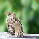 Lonesome Sparrow........! by Roy  Massicks