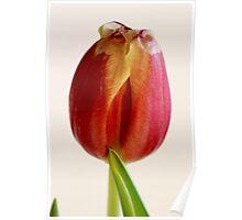 red tulip macro Poster