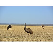 Emu on the Hay Plains Photographic Print