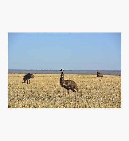 Emu on the Hay Plains Photographic Print