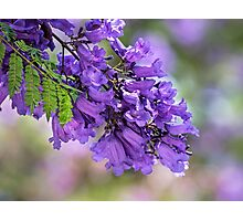 Jacaranda in spring Photographic Print