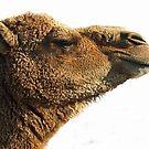 Camel by Bine