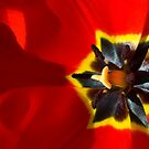 The Scarlet Dawn - Tulips in the Garden by Melanie Simmonds