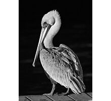 Pelican Portrait In Black and White Photographic Print