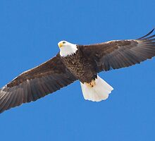 Adult Bald Eagle by DigitallyStill