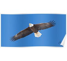 Adult Bald Eagle Poster