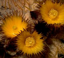 Barrel Cactus Flowers by rrushton